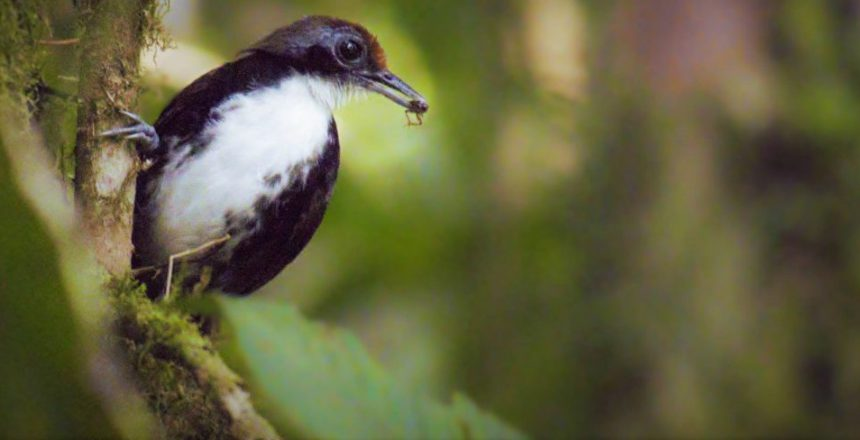 Bicolored Antbird eating a beetle